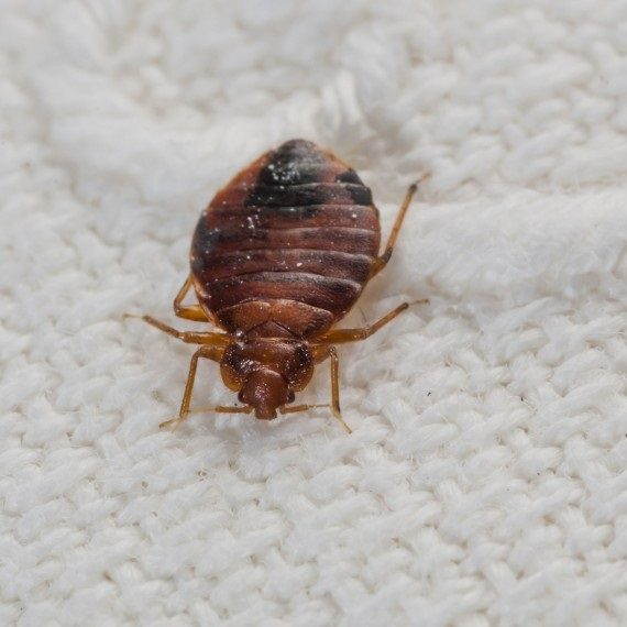 Bed Bugs, Pest Control in Purley, Kenley, CR8. Call Now! 020 8166 9746