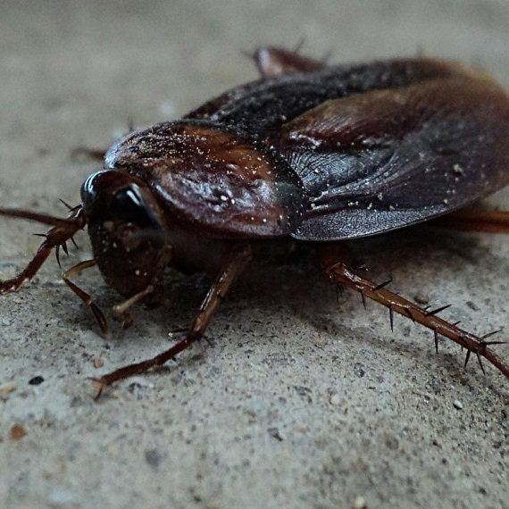 Cockroaches, Pest Control in Purley, Kenley, CR8. Call Now! 020 8166 9746