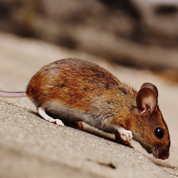 Mice, Pest Control in Purley, Kenley, CR8. Call Now! 020 8166 9746
