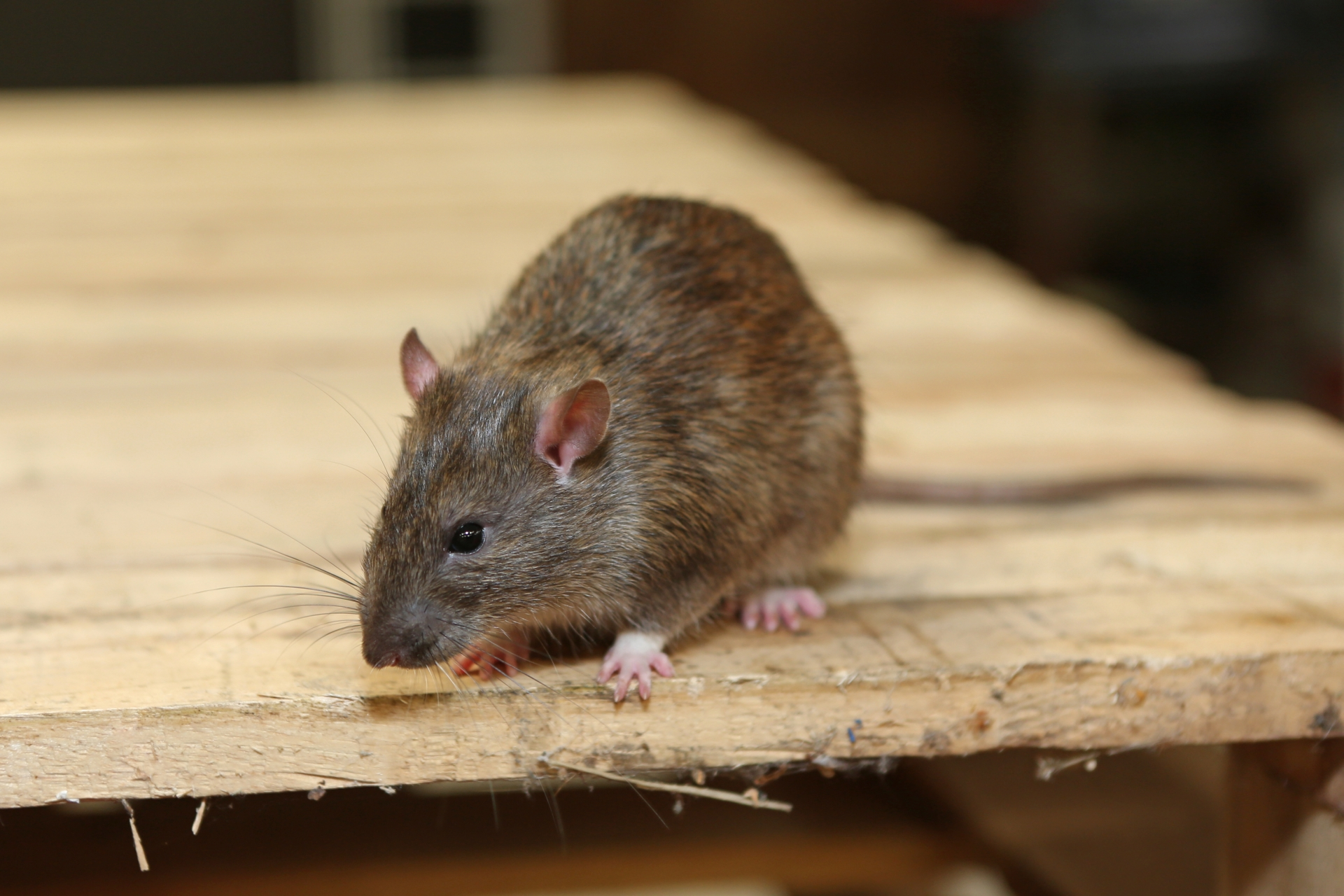 Rat Control, Pest Control in Purley, Kenley, CR8. Call Now 020 8166 9746