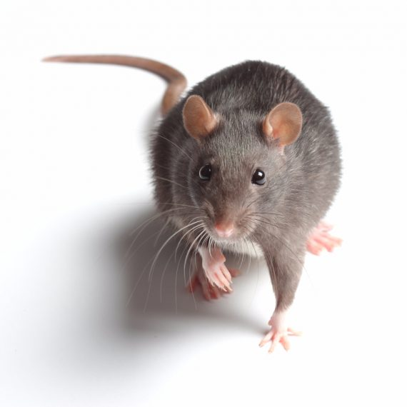 Rats, Pest Control in Purley, Kenley, CR8. Call Now! 020 8166 9746