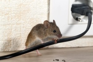 Mice Control, Pest Control in Purley, Kenley, CR8. Call Now 020 8166 9746